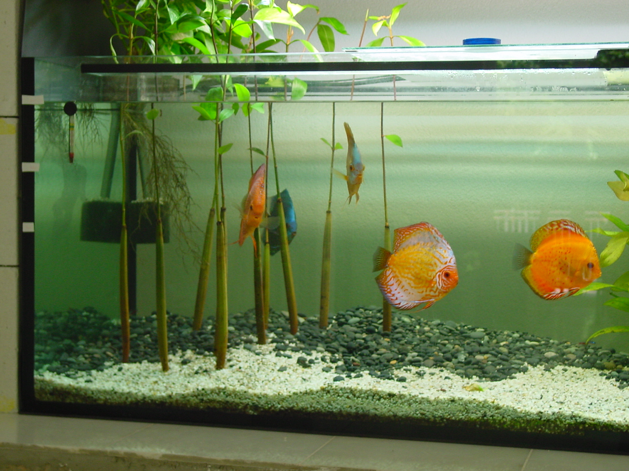 mangrove in freshwater aquarium