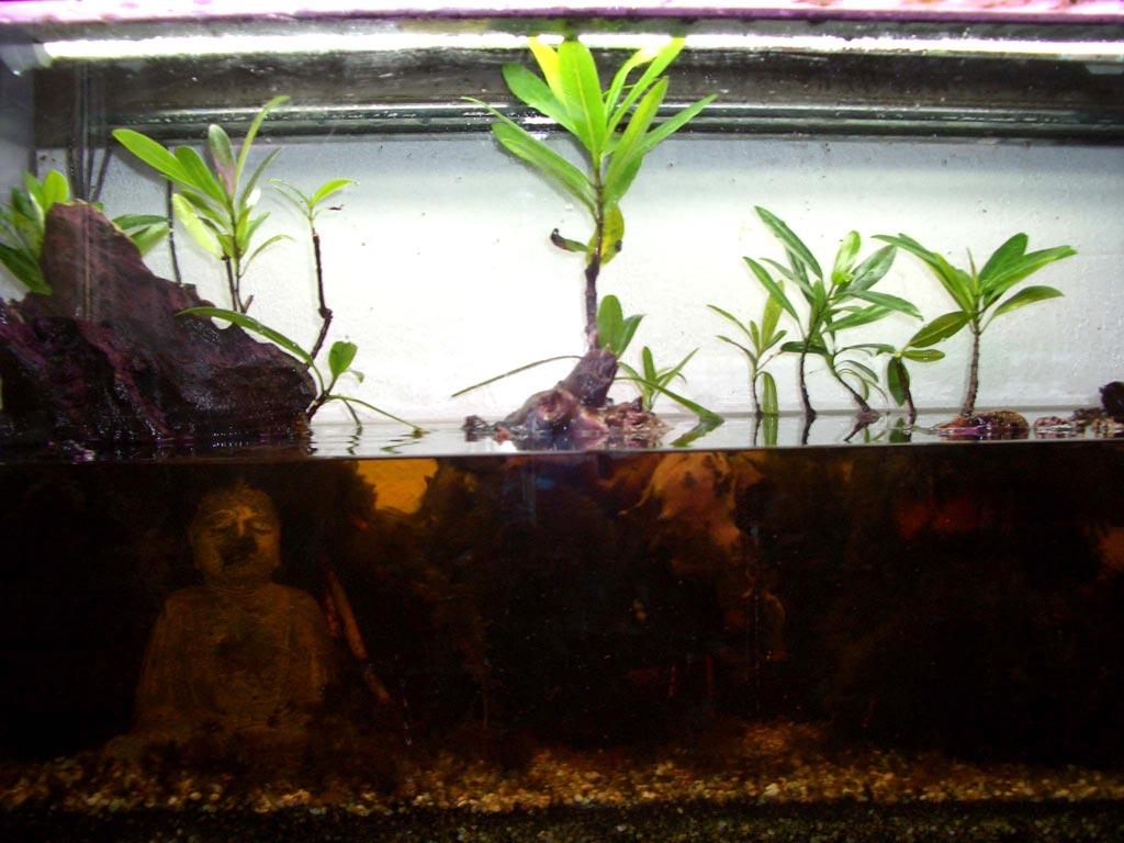mangroven pflanzen aquarium