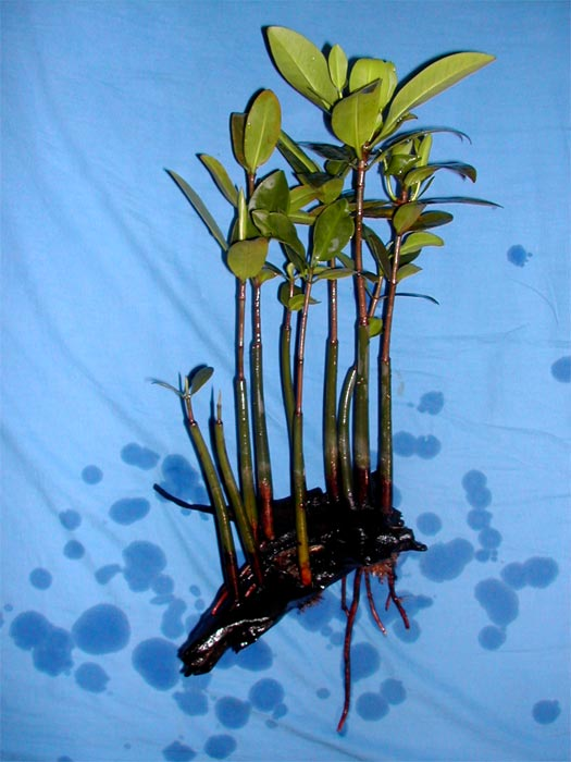 Keeping And Cultivation Of Mangroves