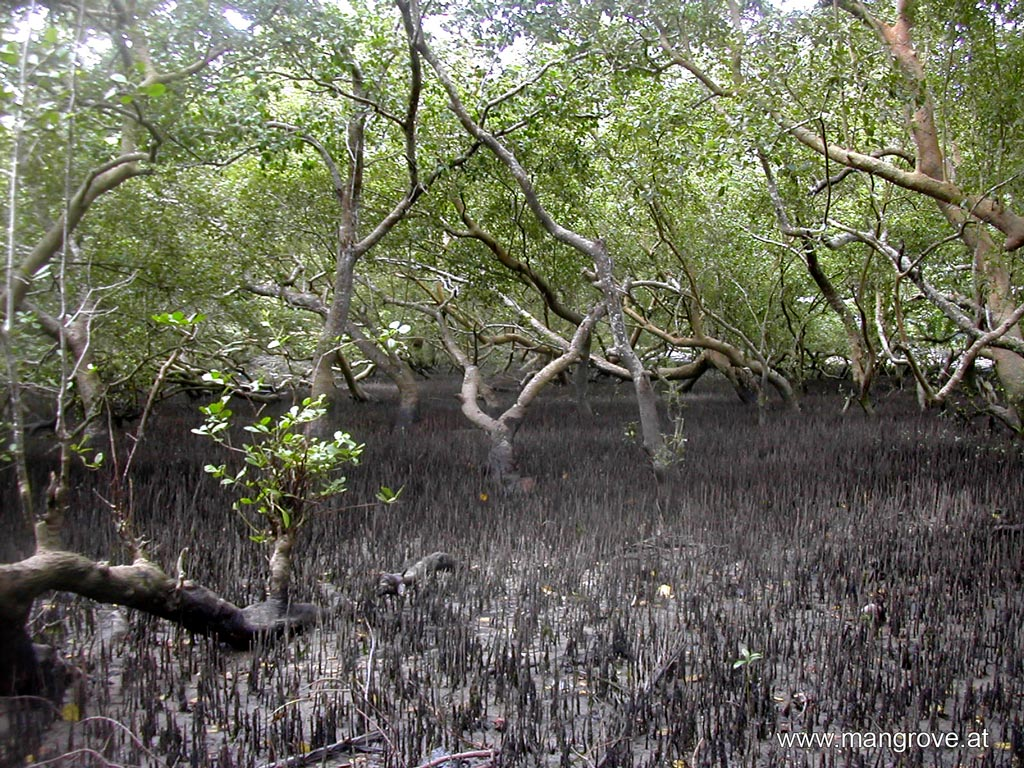 basin mangrove community