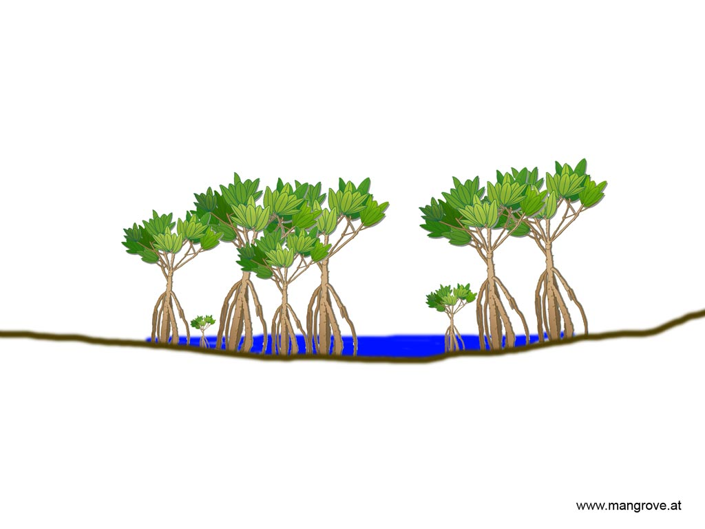 Basin mangrove forests