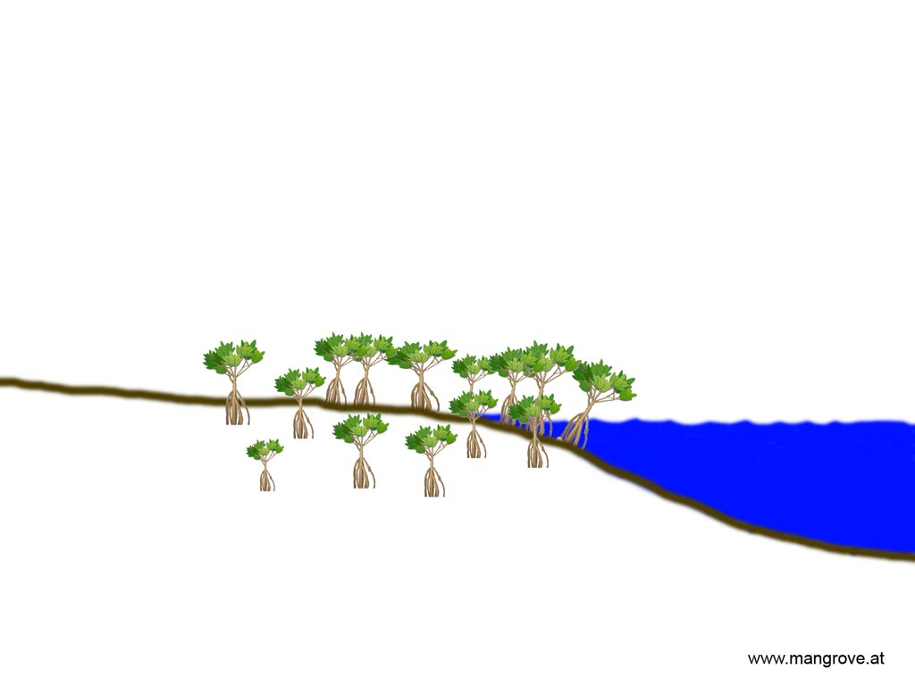 Dwarf mangrove forests