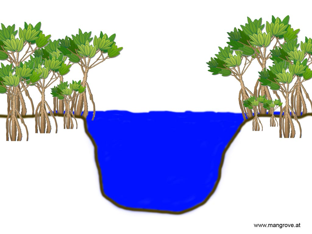Riverine mangrove forests