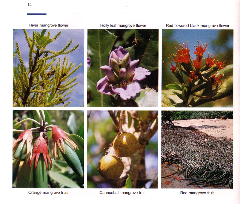 Life in the Mangroves - aus dem Buch