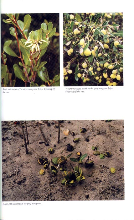 Mangroves in New South Wales and Victoria - aus dem Buch