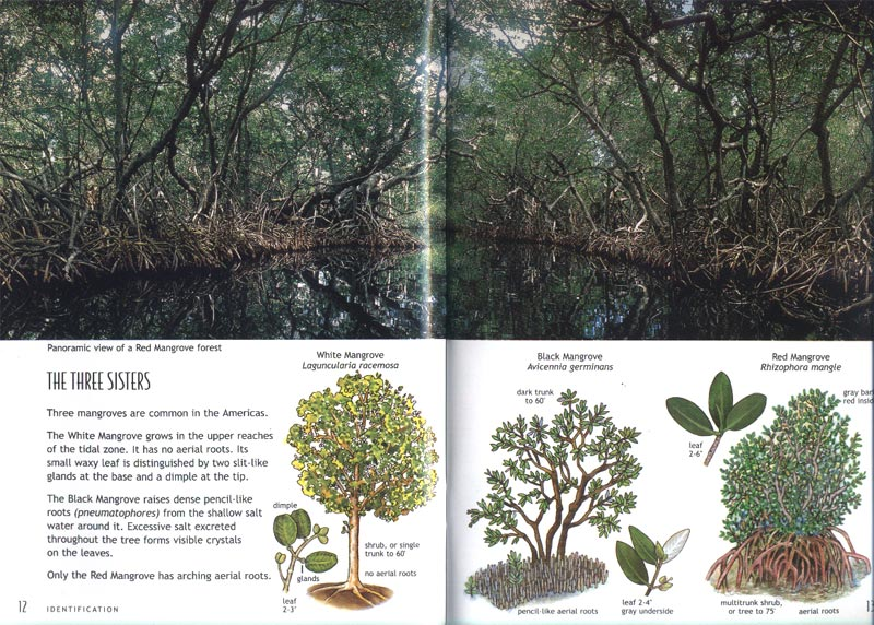 Mangroves - Trees in the sea - aus dem Buch