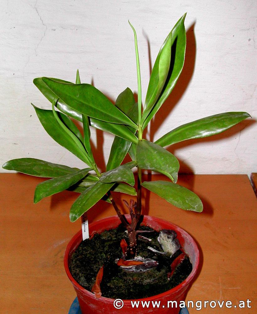 Мангровый палюдариум - Страница 2 Pelliciera%20rhizophorae%20cultivation%2007