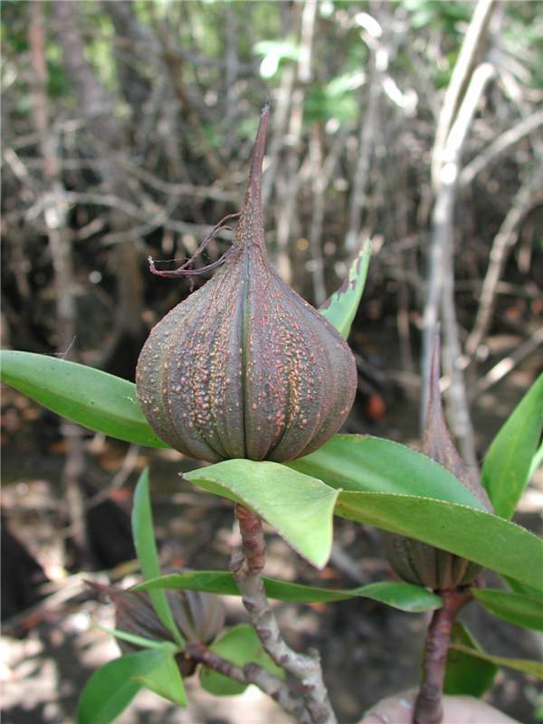 Pelliciera rhizophorae fruits