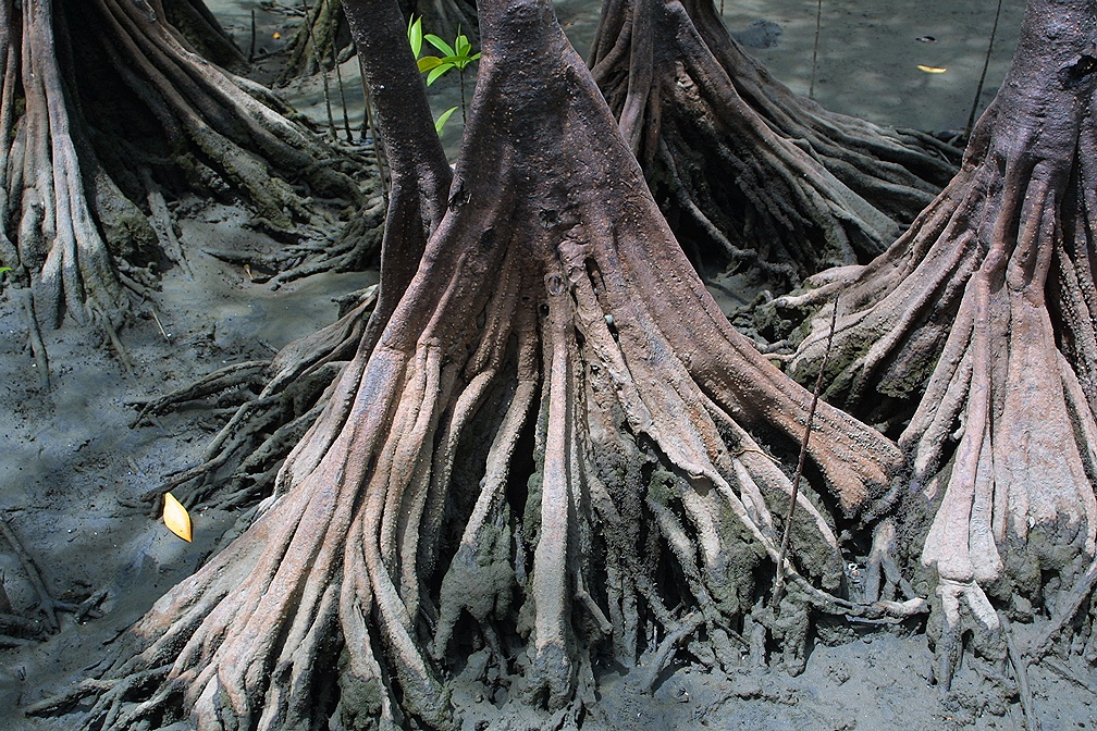 Pelliciera rhizophorae roots