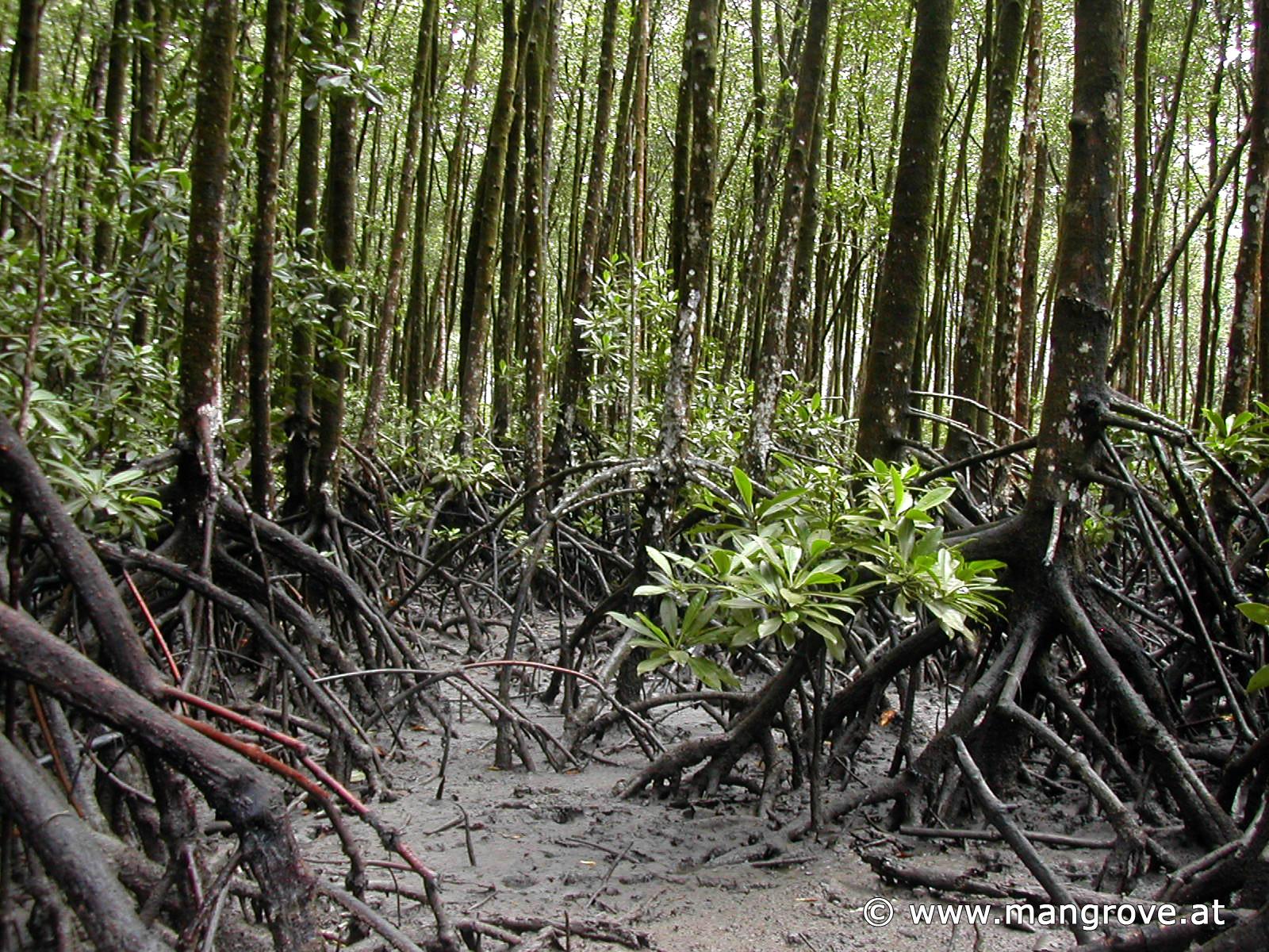 Rhizophora stylosa - Stilted Mangrove
