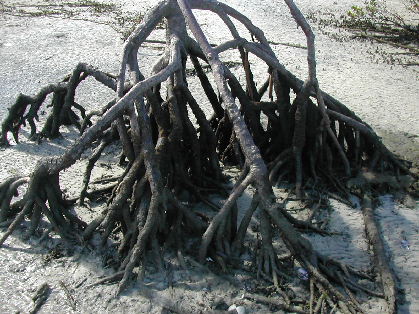 Rhizophora stylosa roots